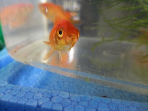 十一 七 金魚の顔