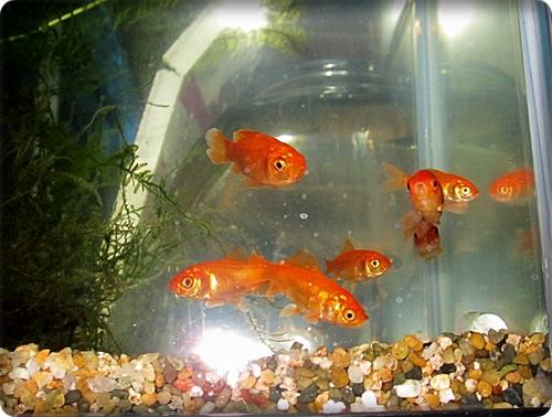 今夜の金魚