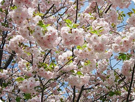 桜 近くから 二