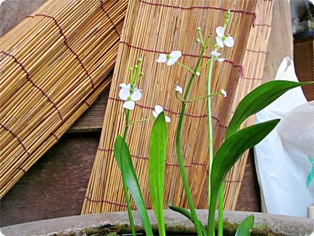 ウリカワの花が咲いた