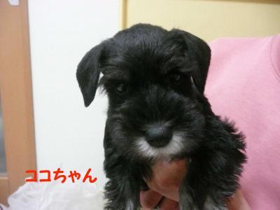 雅っ子ココ11月28日