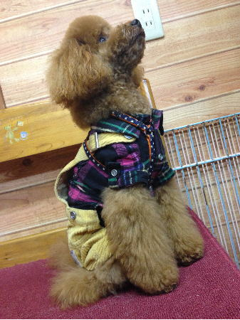 洋服を着たココア
