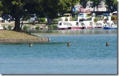 13041309 水辺のダイサギ