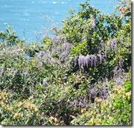 13041922 花の色が鮮やかなヤマフジ