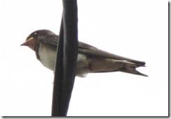 13062901 ツバメ(幼鳥)