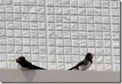 13062902 ツバメ(幼鳥)