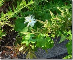 13081206 キカラスウリの花