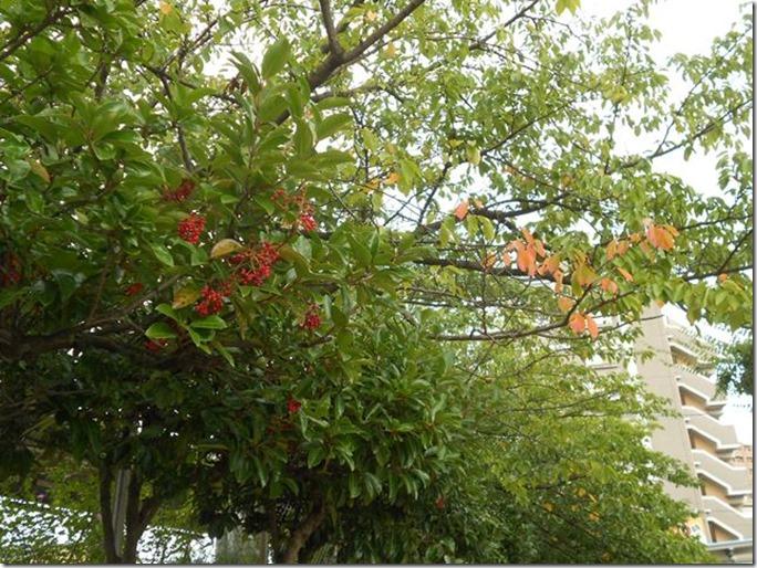 13090807サンゴジュの実と桜の紅葉始め