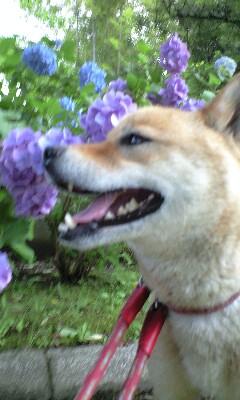 シュウと紫陽花