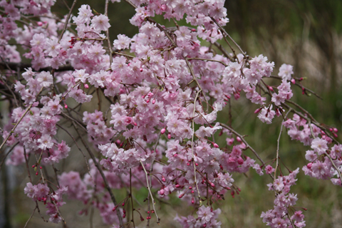 しだれ桜5