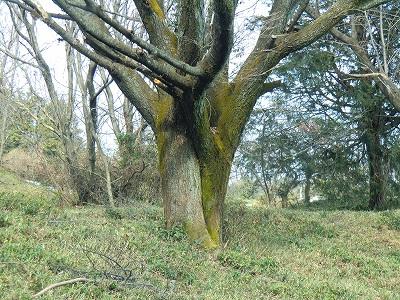 合体した木