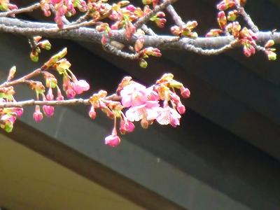 河津桜inなばなの里 11/02/24