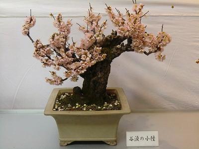 たにぐみ盆梅展 11/03/02