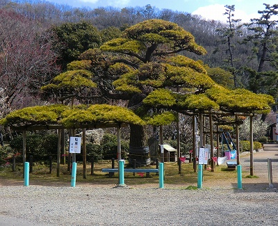 松in梅林公園 11/03/10