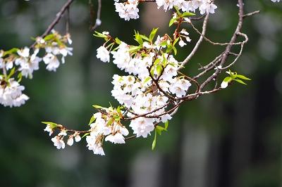 薄墨桜 11/04/19