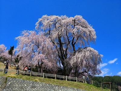 勝間薬師堂しだれ桜 11/04/24