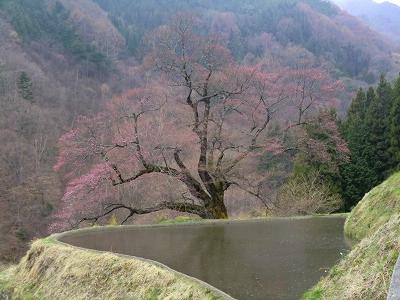 駒つなぎの桜 11/04/24