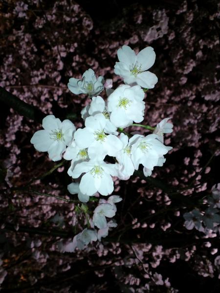 京都 桜アップ