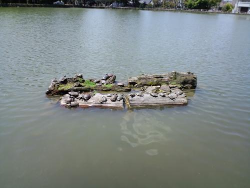 2010 奈良猿沢の池 カメ