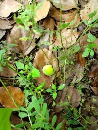 梅の実 木の下