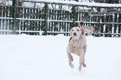 雪のドッグラン*アッシュ
