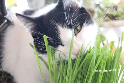 猫草を食うそら