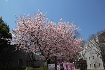 古河市の河津桜