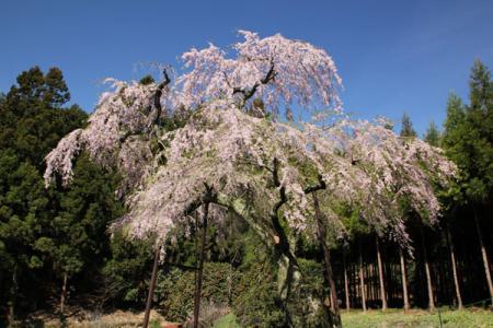 龍興寺のさくら
