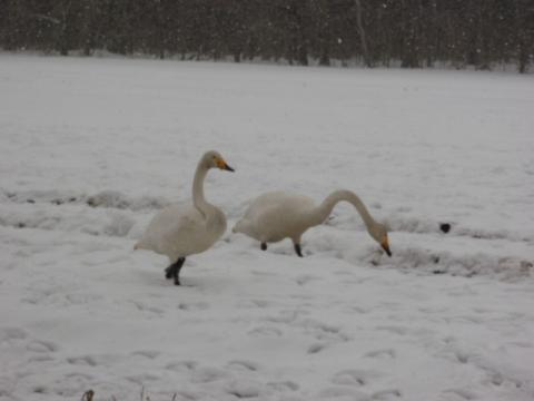 白鳥 083