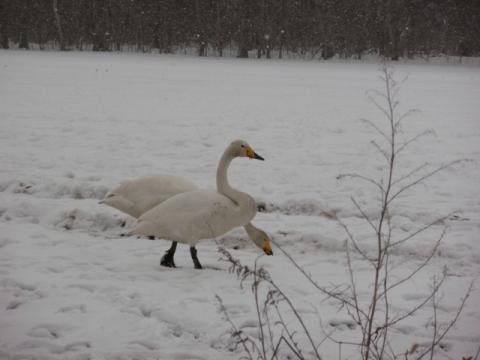 白鳥 084