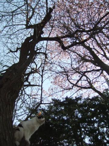 ざわ桜 089