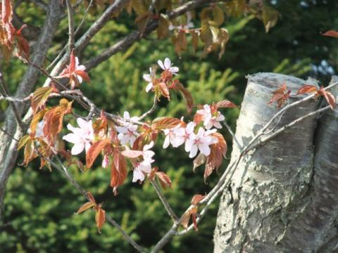 うちの桜 016