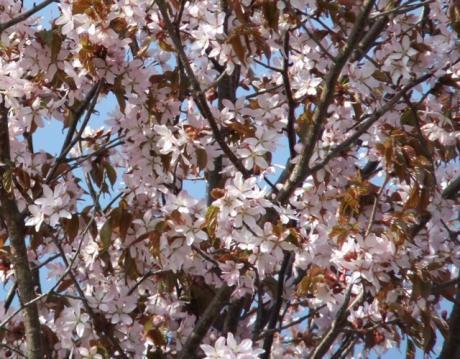 うちの桜 011