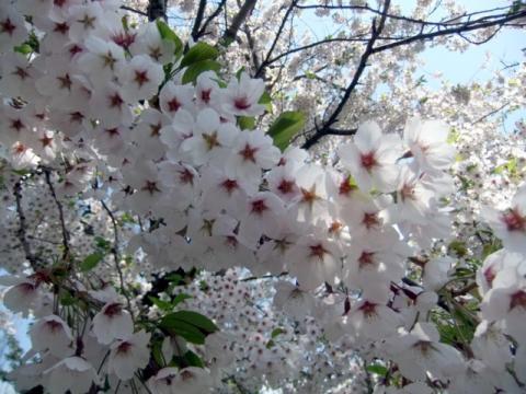 桜公園 213