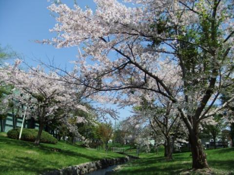 桜公園 261
