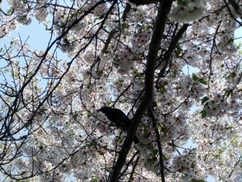 桜公園 276