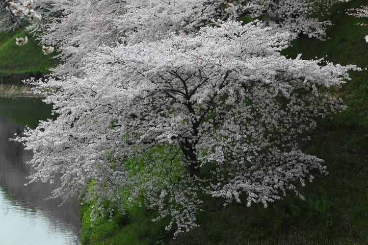 chidorigafuchi_0007f.jpg