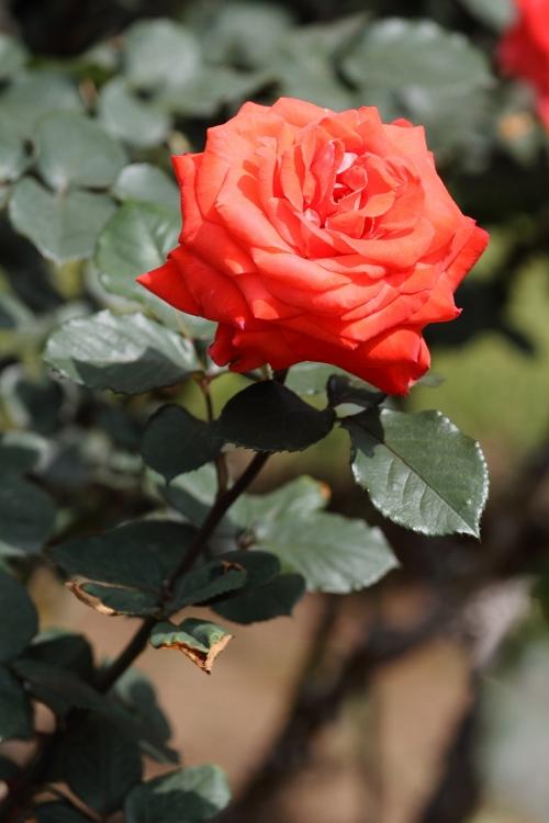 furukawa-rose_0008f.jpg