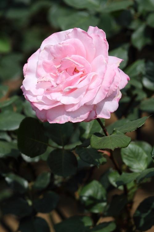 furukawa-rose_0009f.jpg