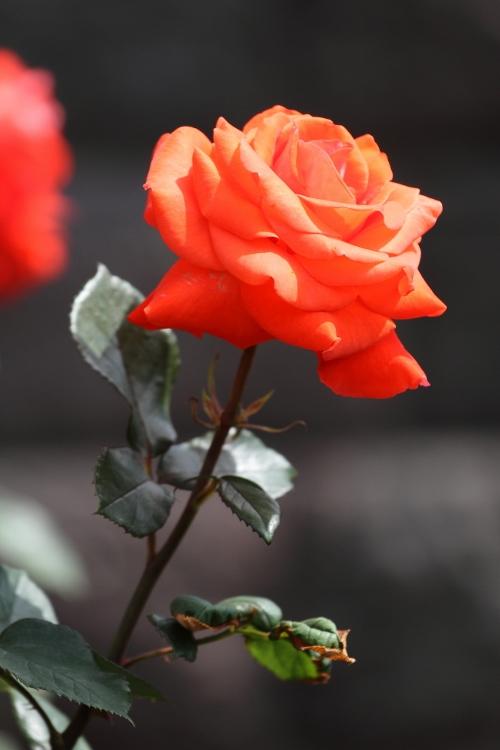 furukawa-rose_0010f.jpg