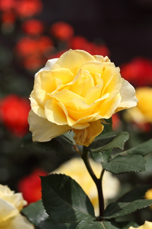 furukawa-rose_0012f.jpg
