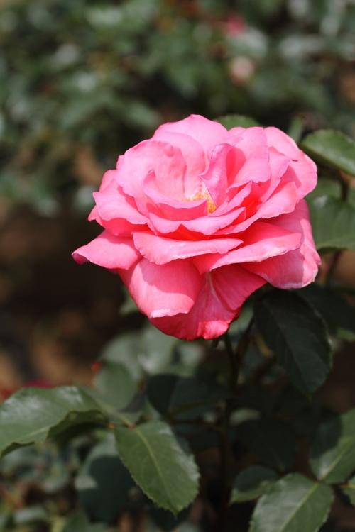 furukawa-rose_0013f.jpg