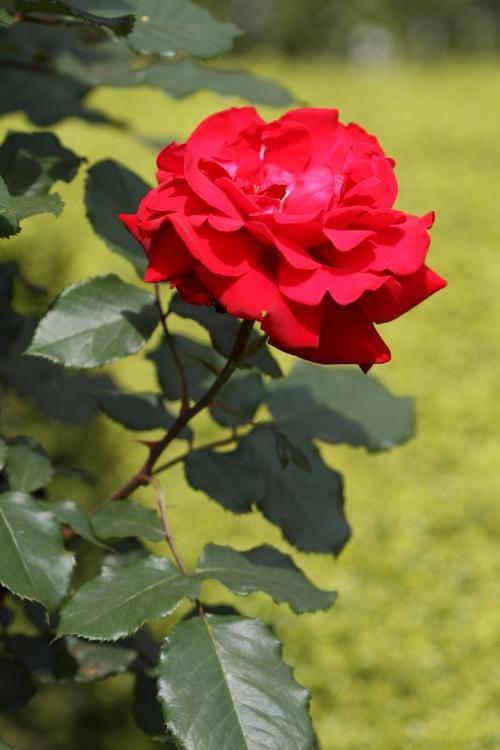 furukawa-rose_0016f.jpg