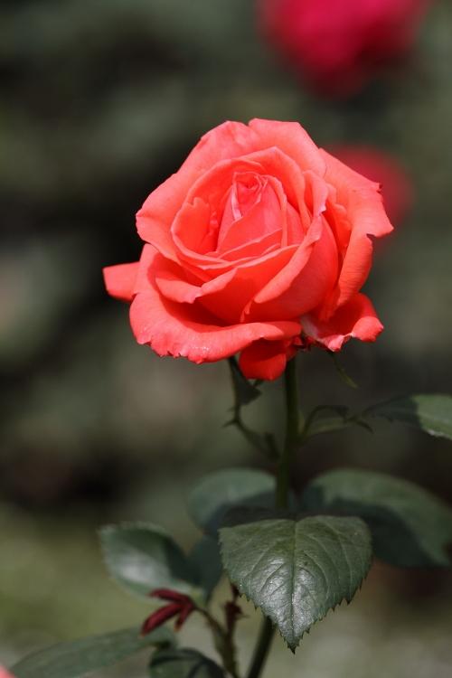 furukawa-rose_0019f.jpg