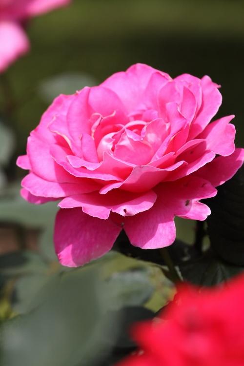 furukawa-rose_0020f.jpg