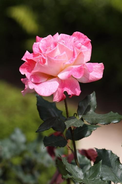 furukawa-rose_0022f.jpg