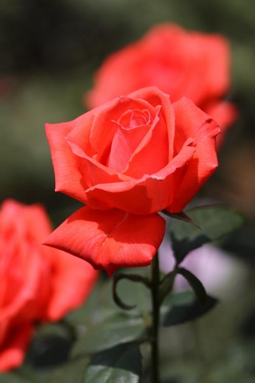 furukawa-rose_0024f.jpg