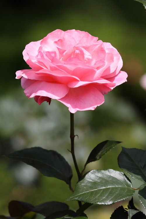 furukawa-rose_0026f.jpg