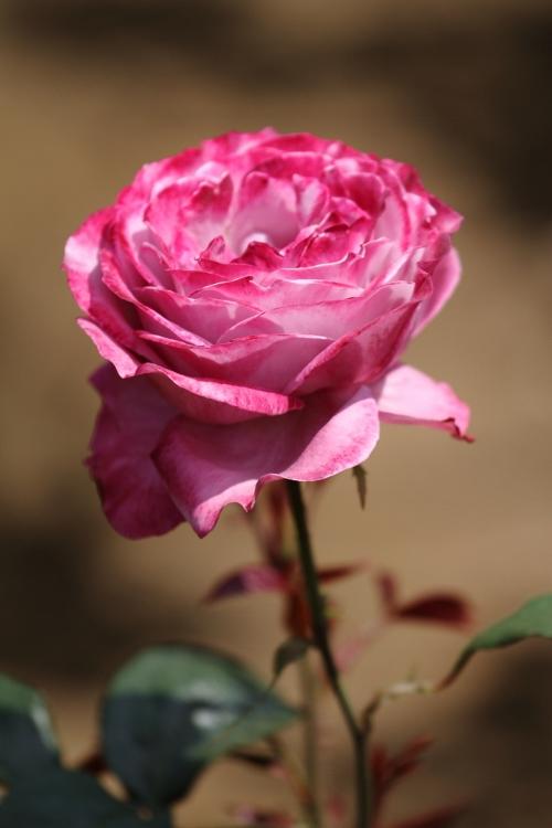 furukawa-rose_0027f.jpg