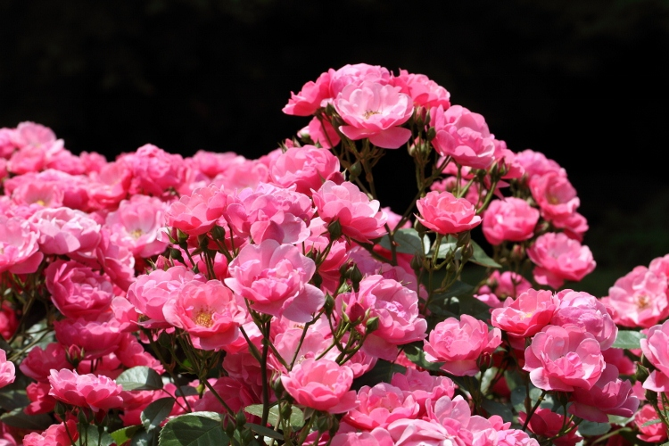 furukawa-rose_0028f.jpg